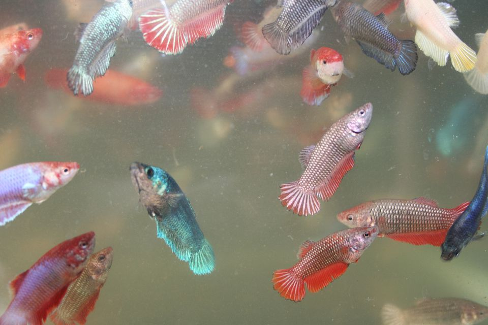 A full rainbow of female betta fish pictures and facts for Female betta fish pictures