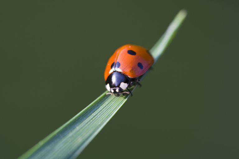 Ladybird, Brittany, France.