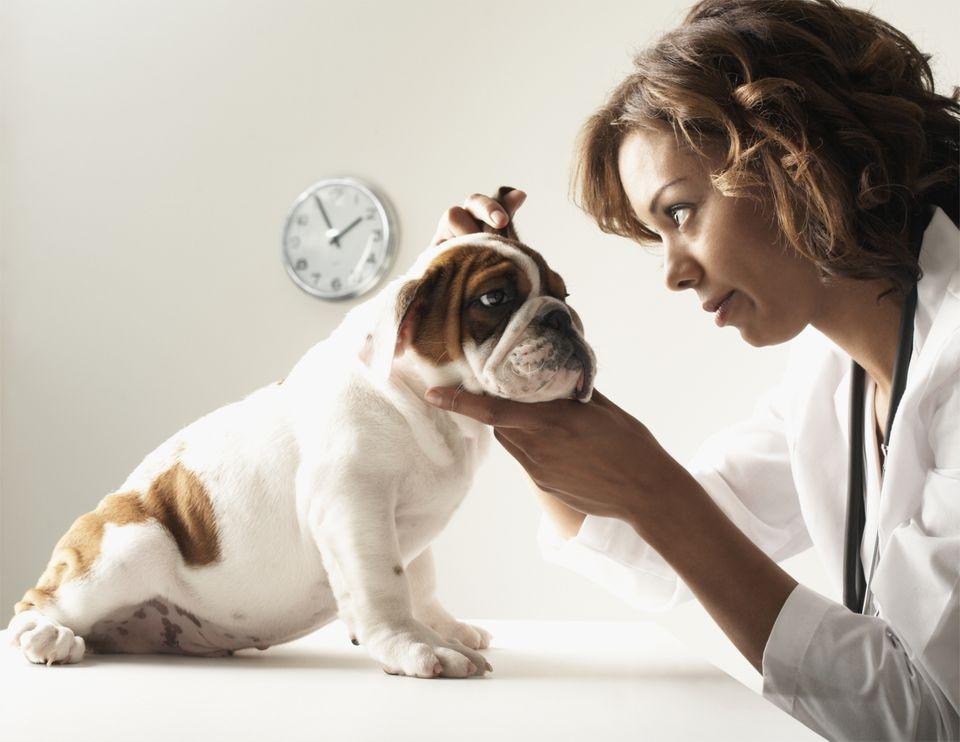 Vet examines a dog's ear