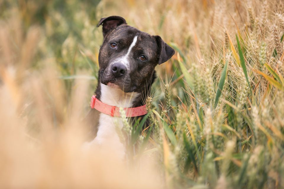 refequently asked questions about the american pit bull terrier