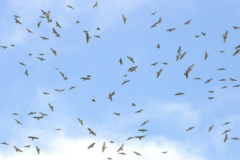 Kettle of Migrating Hawks