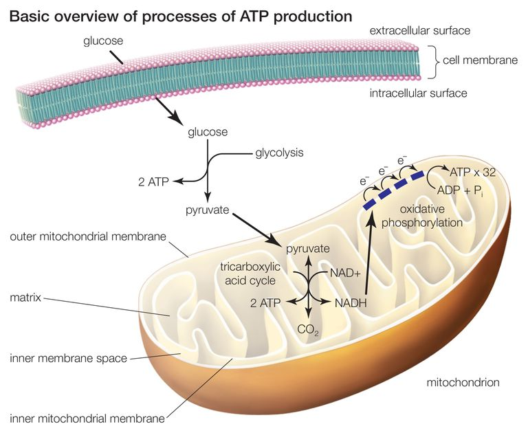 Celluar respiration
