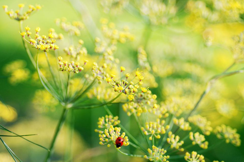 Flowers of a dill plant