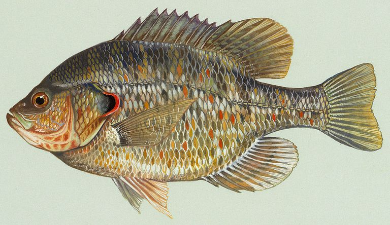The redear sunfish, otherwise known as a shellcracker