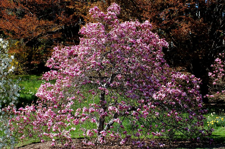 Betty magnolia tree in bloom, with pink flowers.