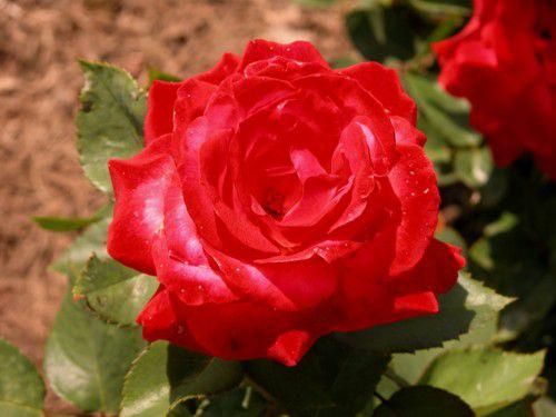 Rose 'Milestone'