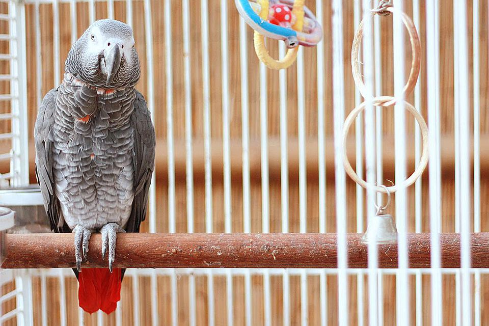 Parrot sitting on perch in white cage.