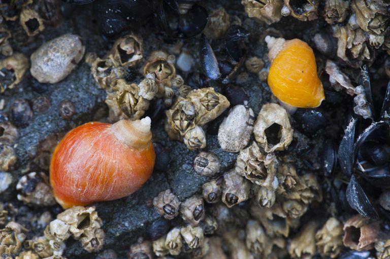 Emarginate Dogwinkle Snails