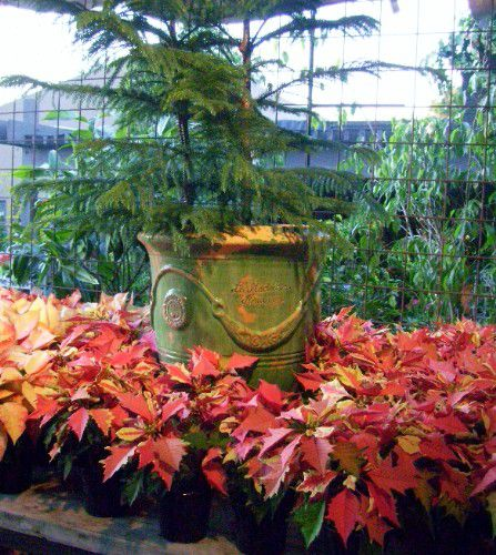 picture of poinsettias at roger's gardens