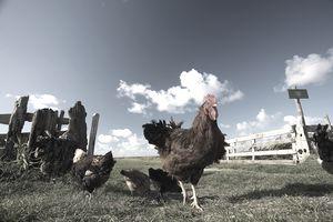 free range chickens on the farm