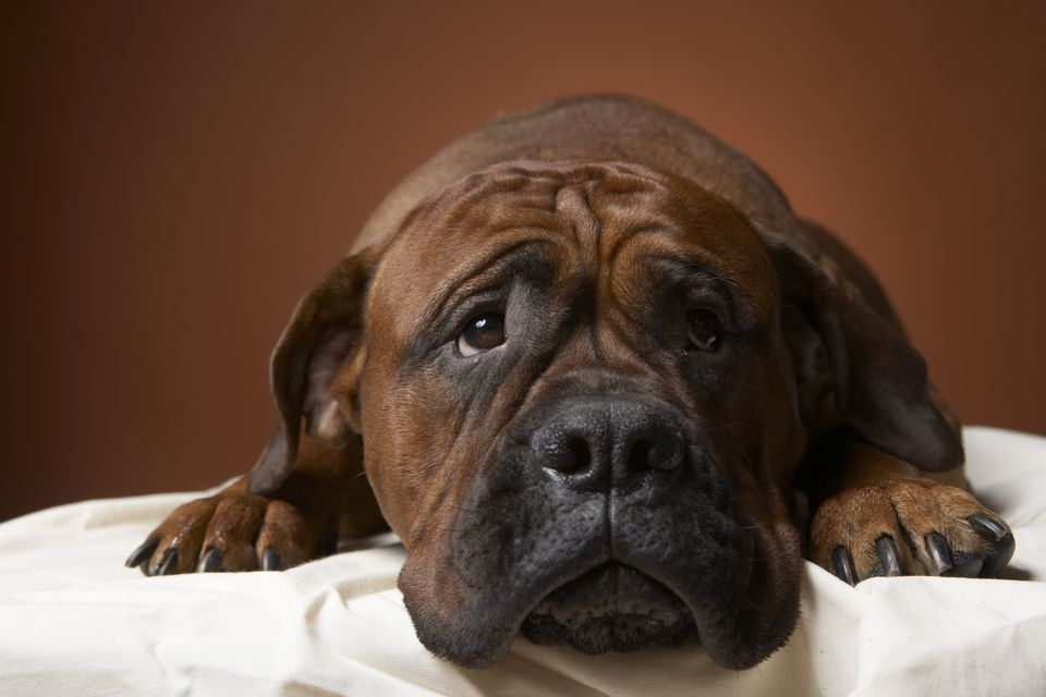 sad or sick dog mastiff