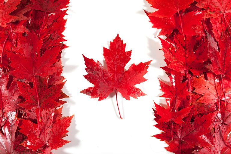Red/sugar maple leaves wet from rain are arranged to make a Canadian flag.