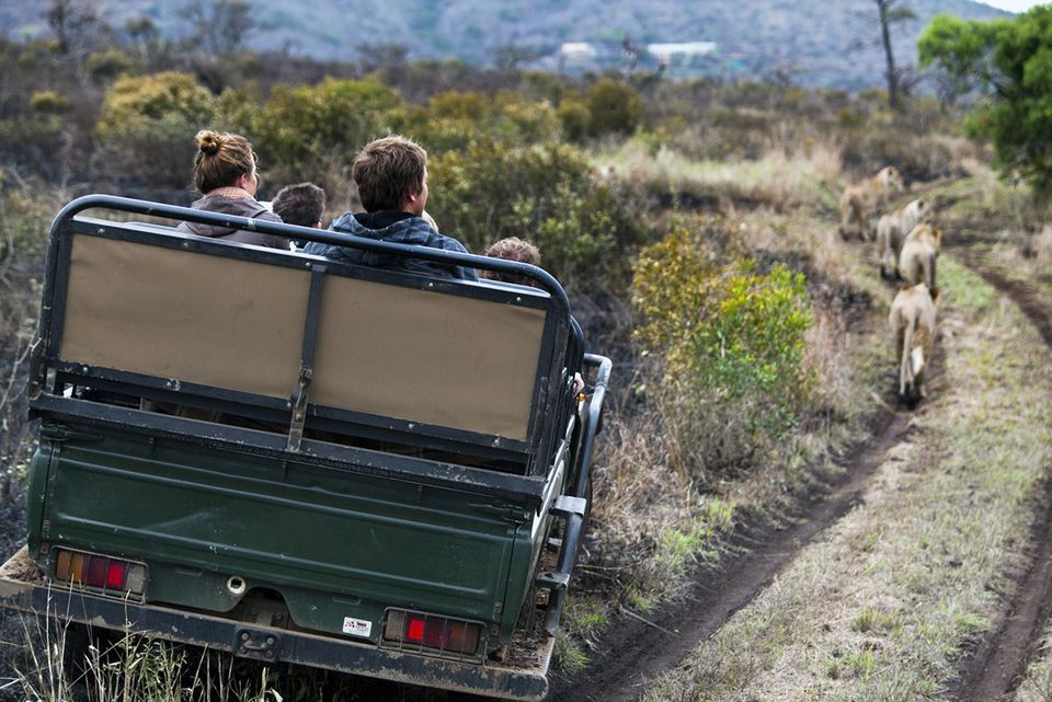 WiLions and tourists, Phinda Reserve
