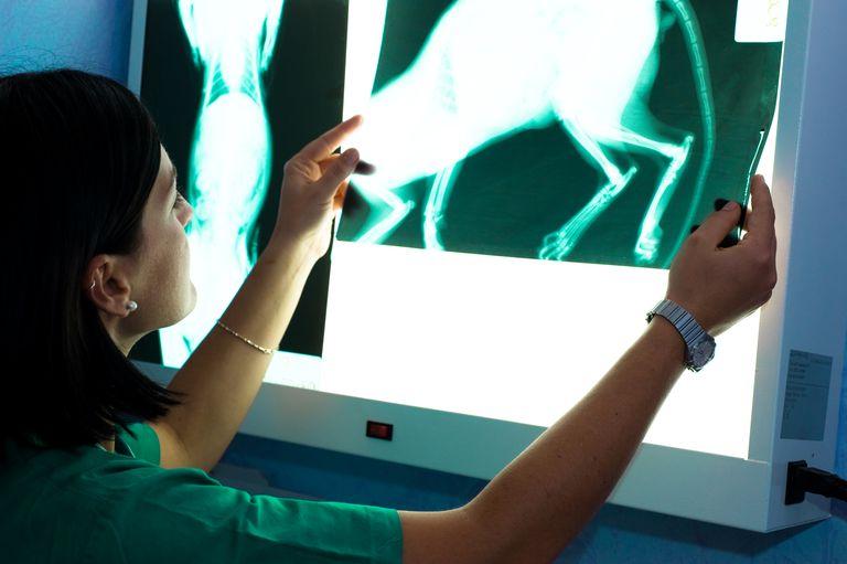 Veterinarian Examines X-Ray of Cat