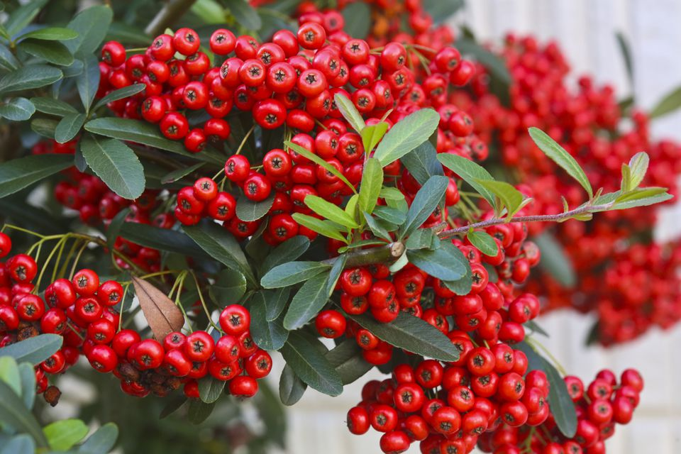 Cotoneaster shrub closeup with red berries.