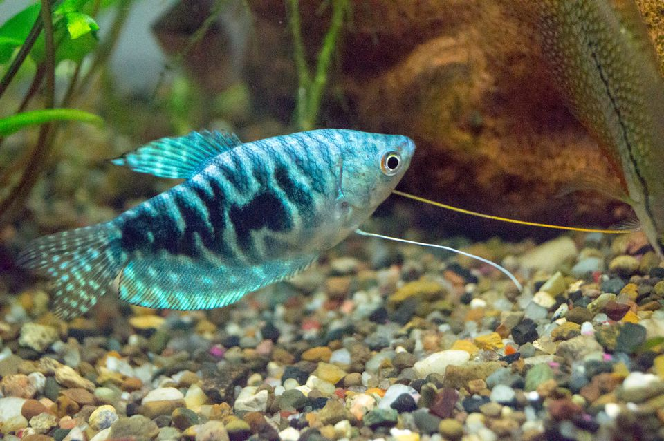 Gourami care and breeding for Freshwater fish compatibility