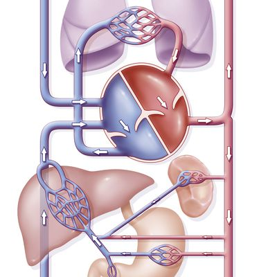 Vasos sanguíneos: venas y arterias