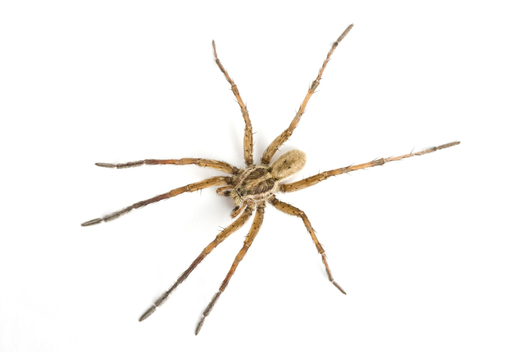 you may think a daddy longlegs is a spider