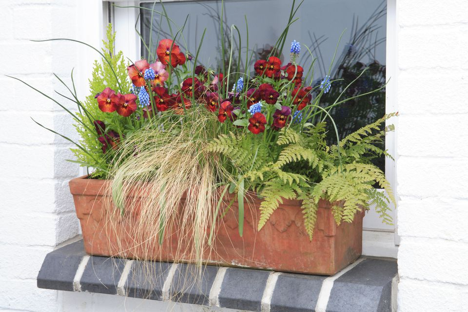 Window box with fern, grass, violas and grape hyacinths on window sill