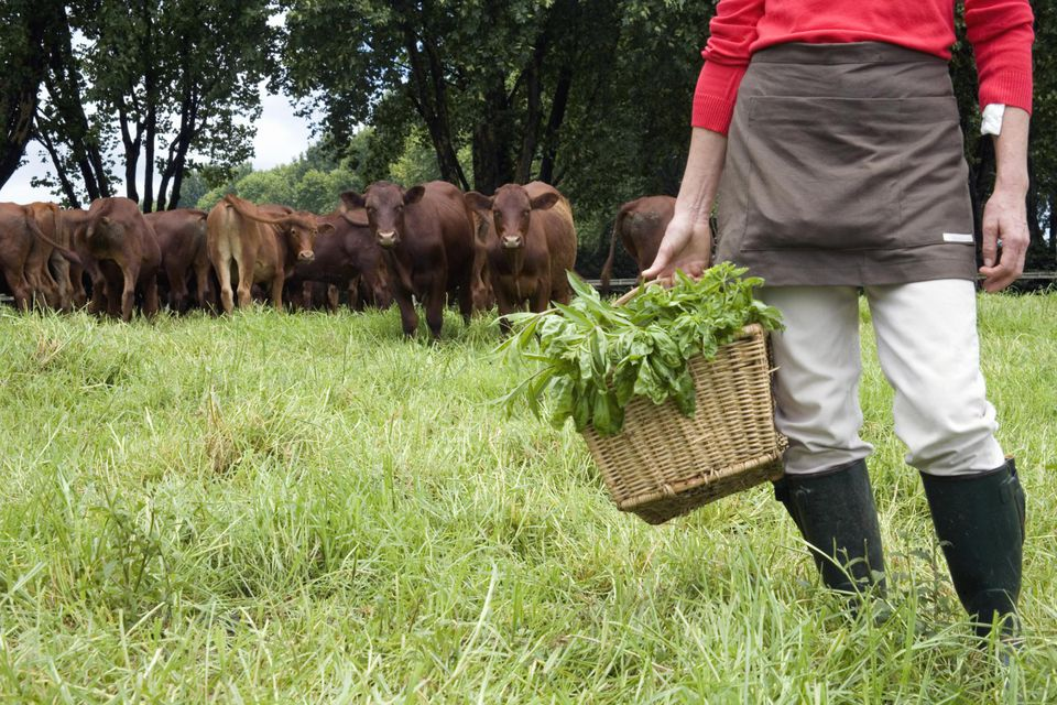 Woman stands in her pasture with basket of organic herbs and free range cattle in the background, KwaZulu Natal Province, South Africa