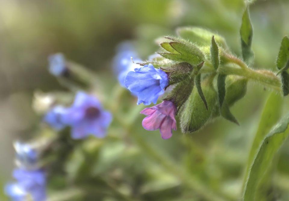 Lungwort Flowers (Pulmonaria)
