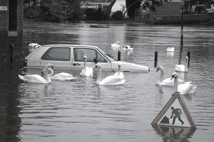 Mute swans Oon flooded river in town swimming by a submerged vehicle.
