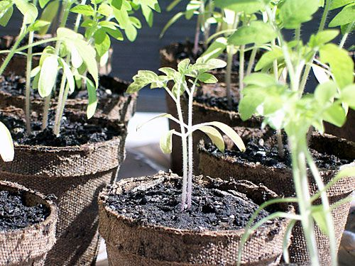 When to Transplant Tomato Seedlings