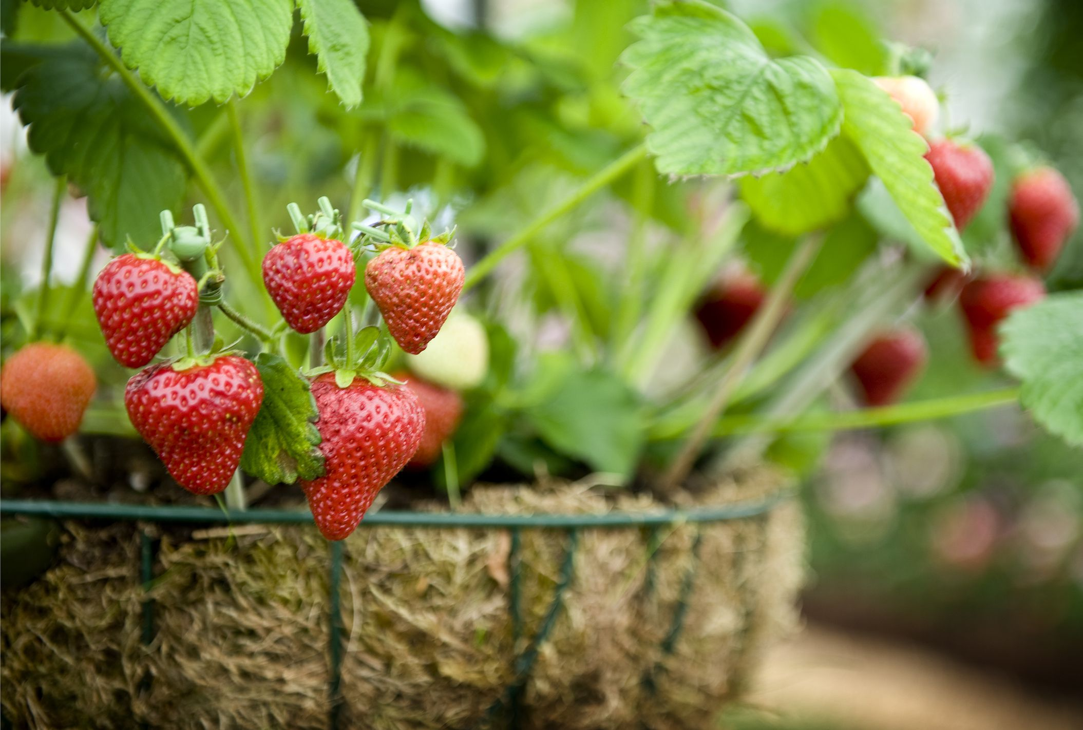 Best strawberries to grow in texas - 10 Tips For Tempting Strawberries