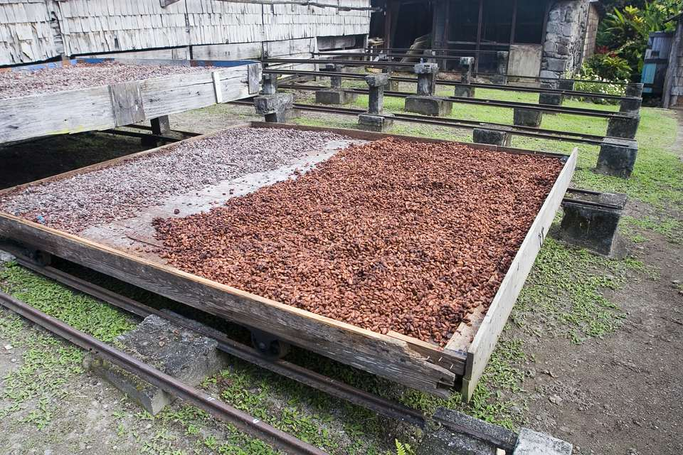 Cocoa beans drying before becoming chocolate