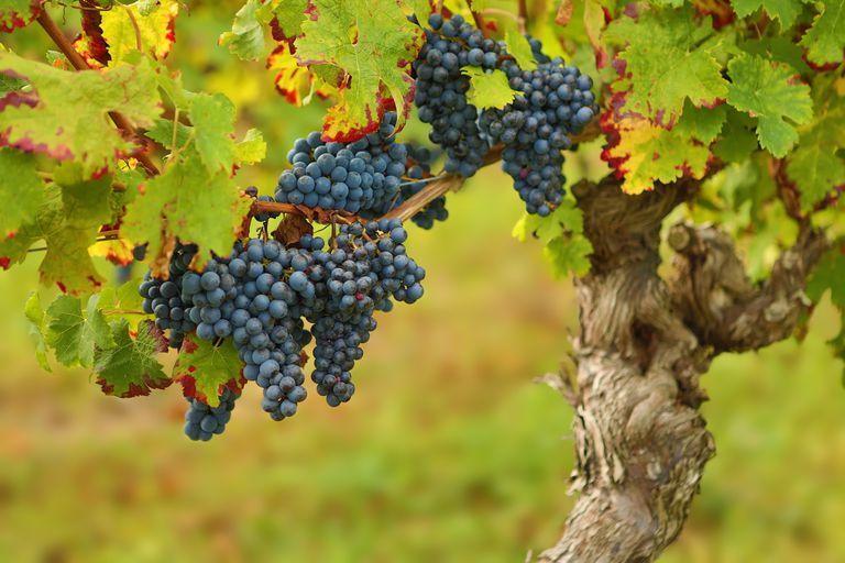 France, Grapes ready for harvest