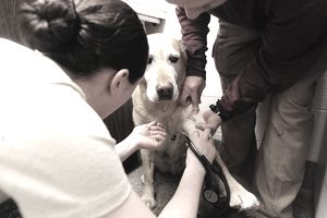 Army Pfc. Randi Baker, an animal care specialist at the Quantico Veterinary Treatment Facility, notices a cut on Millie, a 10-year-old yellow Labrador, after checking her pulse.