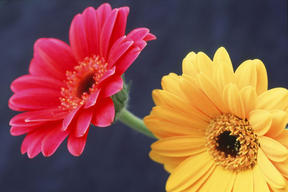 Closeup of two gerbera daisy flowers, one pink, one yellow.