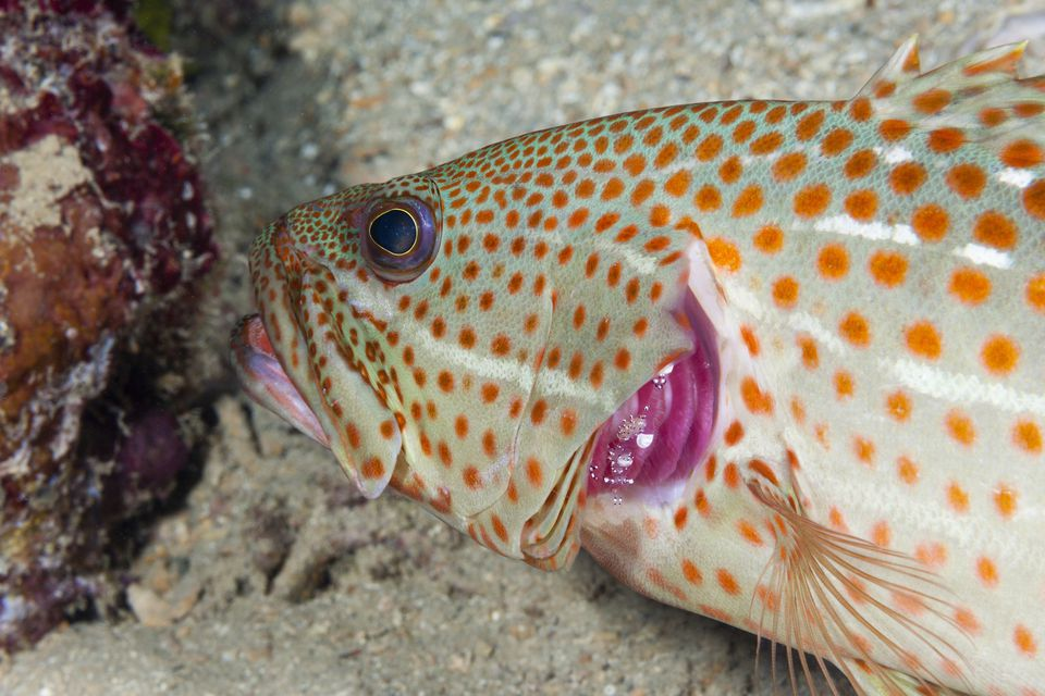 White-lined Grouper, Anyperodon leucogrammicus