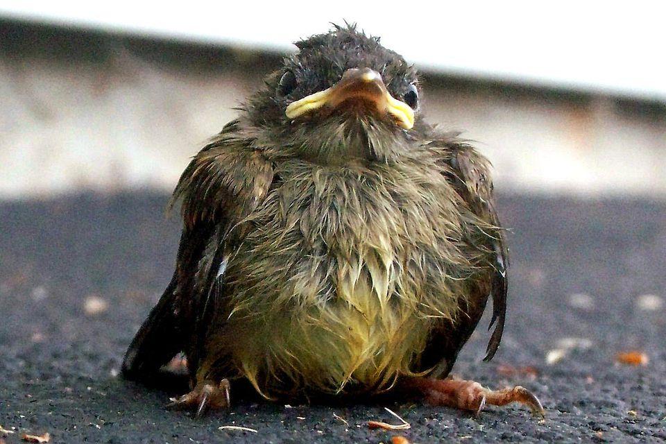 Wet Baby Bird