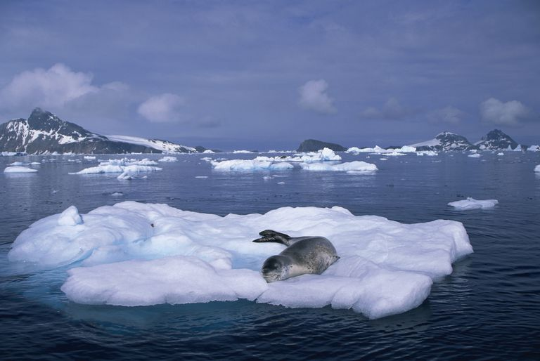 It's unusual to see more than one leopard seal at a time.