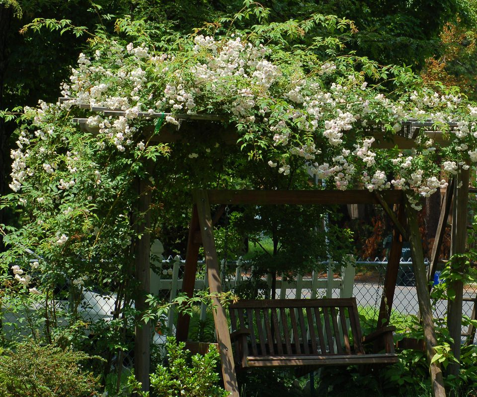 This picture shows a Himalayan musk rose. It's good for growing up arbors.