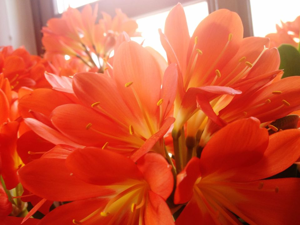 clivia flower - Red Flowering House Plants