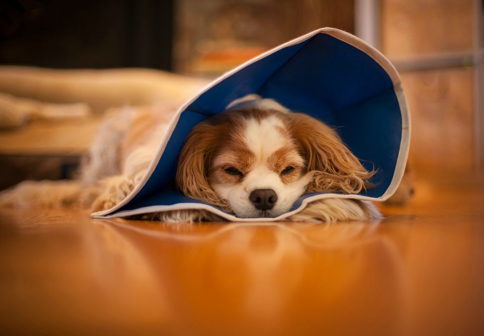 Dog with cone sleeping on floor