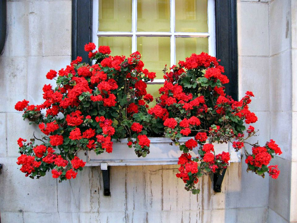 window box red roses