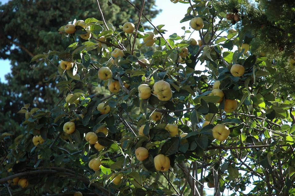 Cydonia oblonga is known as the fruiting quince tree