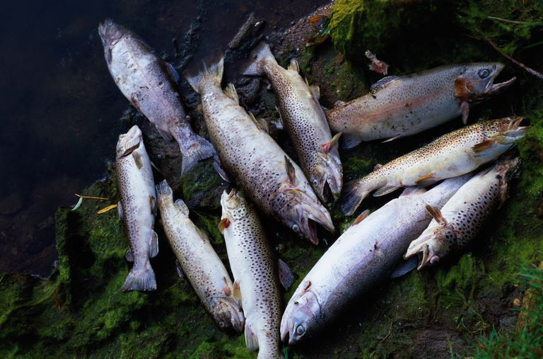 Dead rainbow and brown trout.