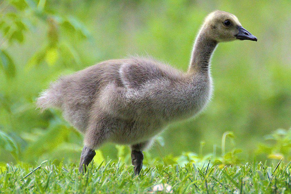 Gosling Definition Baby Goose