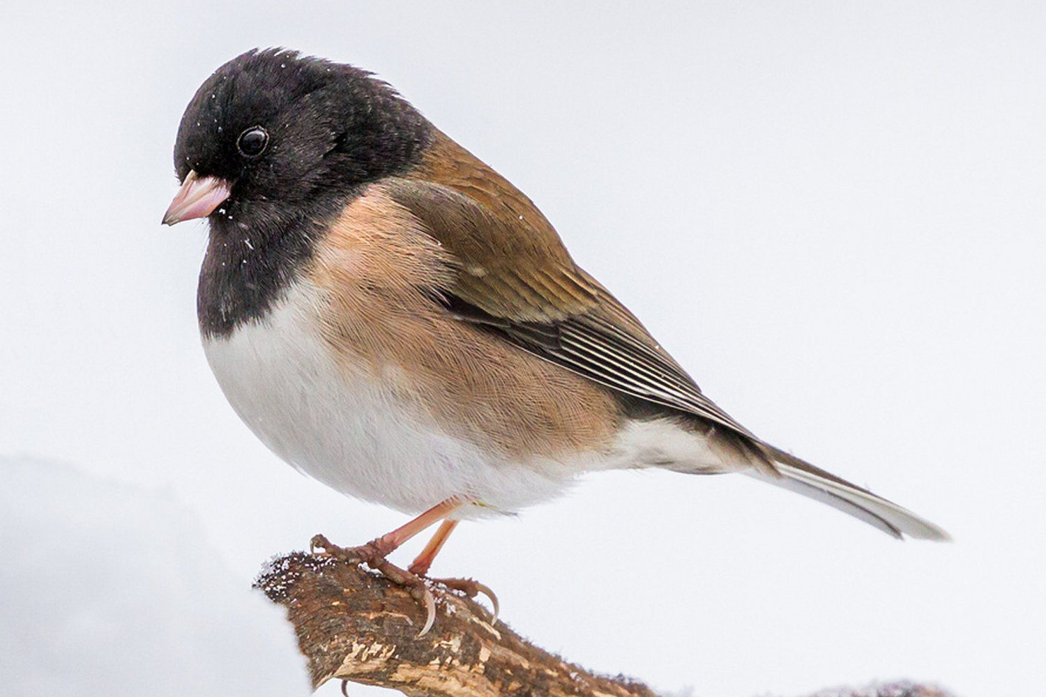 Pictures Of Juncos Photo Gallery