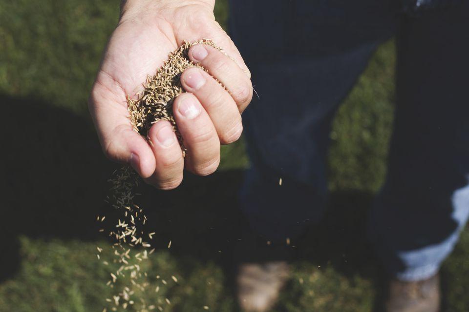Kentucy Bluegrass Seed