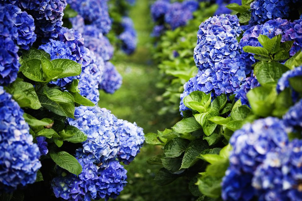 Hydrangea macrophylla shrubs with dark blue flowers.