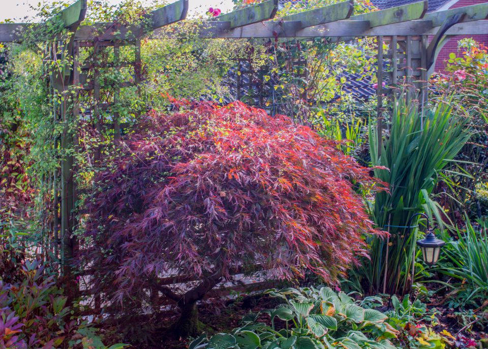 Trees for patios and small space gardens for Maple trees for small gardens