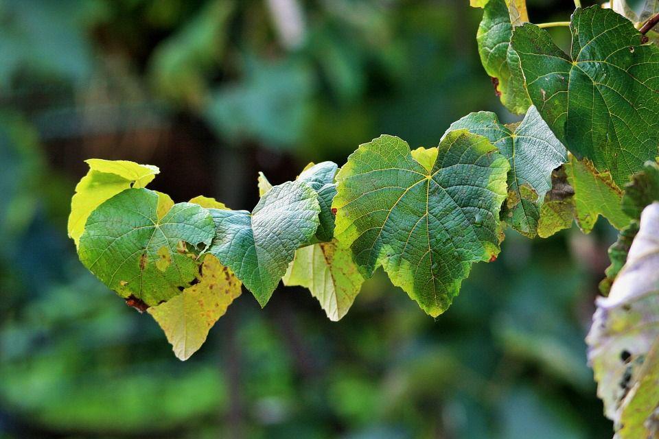 grape leaves on vine
