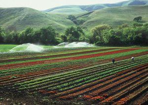 Lettuce crop in central California.