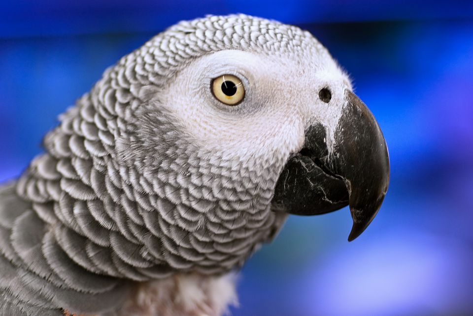 lose-up of an African Grey Parrot.