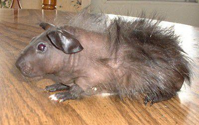 Baldwin Guinea Pig - Young